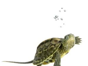 Gatunki żółwi hodowlanych