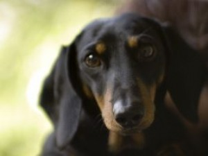 """Jak nauczyć psa podstawowych komend? Komenda """"do mnie"""""""