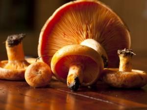 Mleczaj rydz (grzyb jadalny)