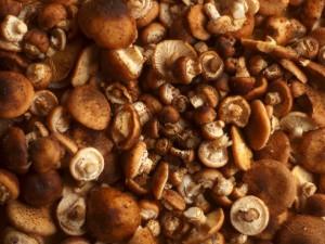 Opieńka miodowa (grzyb jadalny)