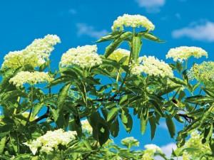 Lecznicze kwiaty czarnego bzu