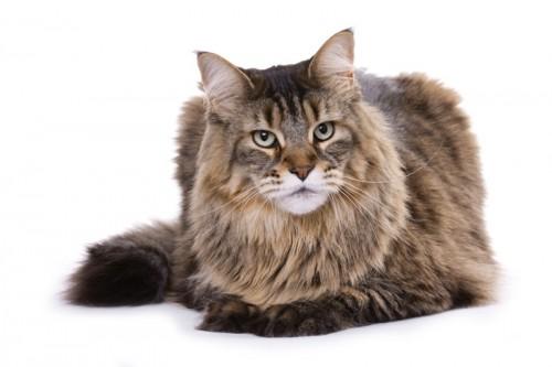 Maine coon, kot, rasy kotów