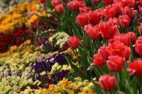 kwiaty, ogród, wiosna, tulipany, bratki