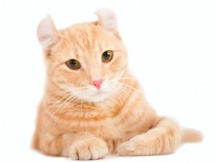 kot, koty, amerykański courl krótkowłosy