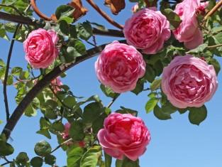 jakie róże hodowaćna balkonie, pomysł na hodowlę różna balkonie