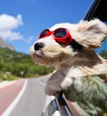 Podróż z psem w samochodzie