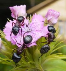 Mrówki w ogrodzie - jak się ich pozbyć