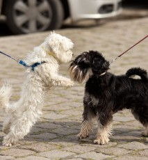 co robić gdy pies szarpie smycz, jak wyprowadzać psa