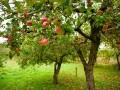 Jak dbać o drzewa i krzewy owocowe?