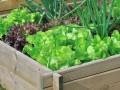 odmiany sałat, odmiany sałaty, najpopularniejsze odmiany sałaty, do czego jaka sałata