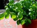 Bazylia - jak uprawiać w ogrodzie i na balkonie