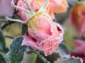 Jak dbac o róże na jesieni