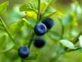 jak usunąć plamy z jagód, jak sprać jagody, jak siępozbyć plamy po jagodach