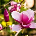 4 zasady dbania o magnolię