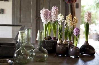 Najmodniejsza roślina grudnia - hiacynt