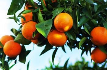 Tam, gdzie rosną pomarańcze!
