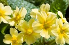 Pierwiosnek - dla zdrowia na wiosnę