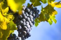 Winogrona - dlaczego warto je docenić?