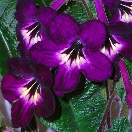 Kwiaty w domu: Skr�tnik