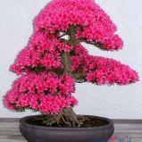 foto 1 - Bonsai - drzewko z klimatem