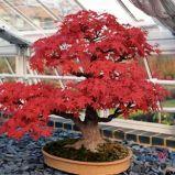 foto 2 - Bonsai - drzewko z klimatem