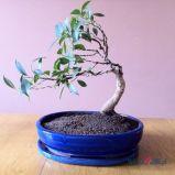 foto 3 - Bonsai - drzewko z klimatem