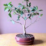 foto 4 - Bonsai - drzewko z klimatem