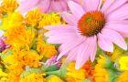 Echinacea - panaceum na odporno��?