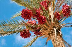 Olej z owoc�w czerwonej palmy