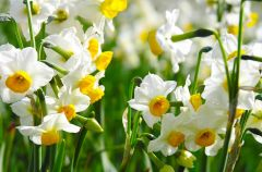 Ro�liny cebulkowe - wiosenny poradnik ogrodnika