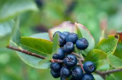 Aronia - ma�y owoc o wielkiej mocy