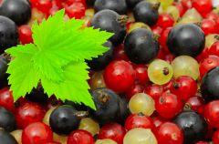 Porzeczka - skarbnica witamin i minera��w