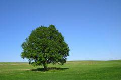 D�b - dlaczego warto doceni� to drzewo?
