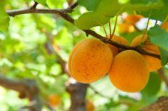 Owoce letnie: Morele