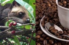Niezwyk�a kawa - Kopi Luwak