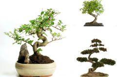 Bonsai - miniaturowe drzewko