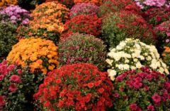 Najmodniejsza ro�lina tej jesieni - chryzantema