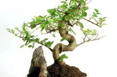 Bonsai - drzewko z klimatem