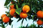 Tam, gdzie rosn� pomara�cze