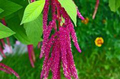Amarantus - zdrowie w li�ciach i nasionach
