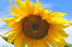 S�onecznik lub koniczynka na chandr�