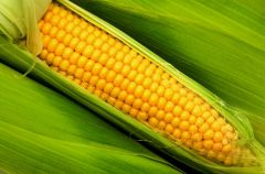 Kukurydza - ��te ziarnka pe�ne zdrowia