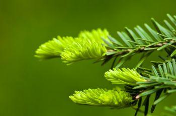 Sosna - zastosowanie w medycynie naturalnej - syrop z p�czk�w sosny