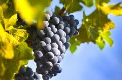Winogrona - dlaczego warto je doceni�?