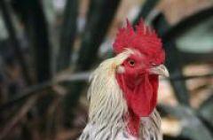 Ptasia grypa - realne zagro�enie