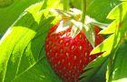Jak za�o�y� plantacj� truskawek?