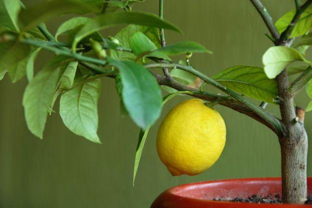 Jak dbać o drzewko cytrusowe?