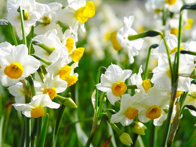 Rośliny cebulkowe- wiosenny poradnik ogrodnika