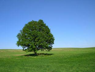 Дуб - почему стоит ценить это дерево?