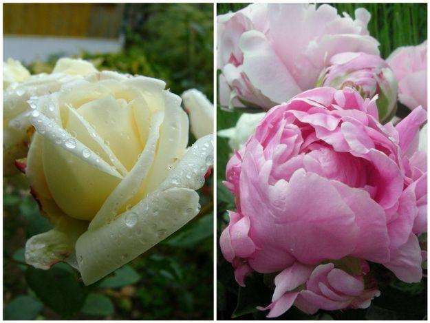 Pielęgnujemy róże ogrodowe